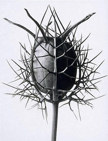 An image of Nigella damascena (Spinnenkopf) by Karl Blossfeldt