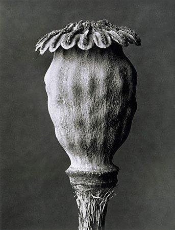AGNSW collection Karl Blossfeldt Poppy (circa 1932, printed 1976) 546.1996