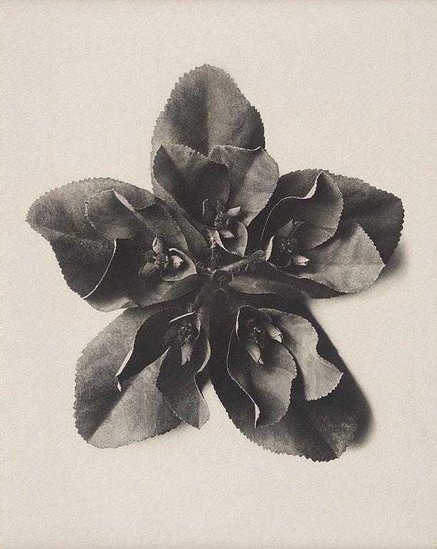 An image of Euphorbia helioscopia, Sun spurge, 5 x enl.