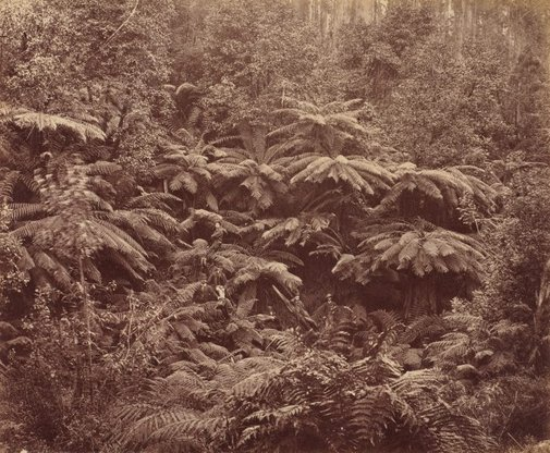 An image of Fern Tree Gully, Hobart Town, Tasmania by Unknown photographer, Anson Bros Studio