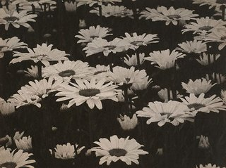AGNSW collection August Sander Field with marguerites (1930s) 58.2006