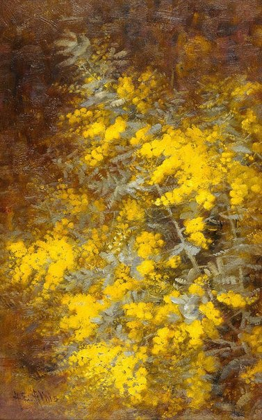 An image of Cootamundra wattle by A.E. Aldis