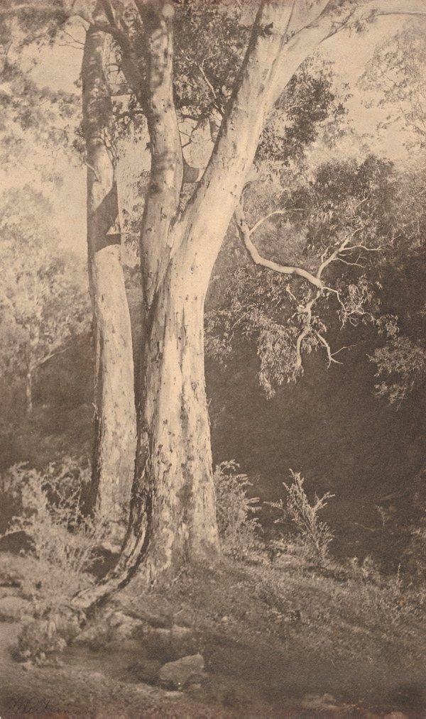 An image of Majestic gums, Prospect South Australia