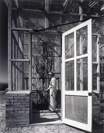 An image of Man in glasshouse, open door, Queensland by Max Dupain