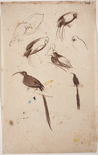 An image of Sheet of studies of birds by William Dobell