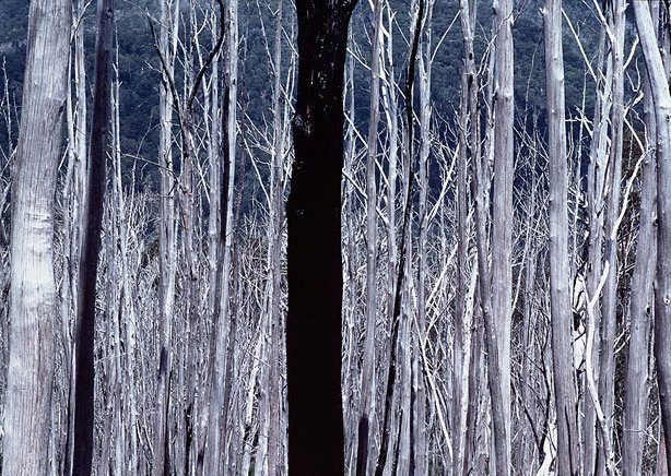 An image of Dead forest, Cabramurra, NSW