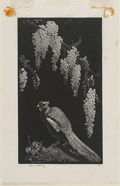 An image of Pheasant and wisteria by Lionel Lindsay