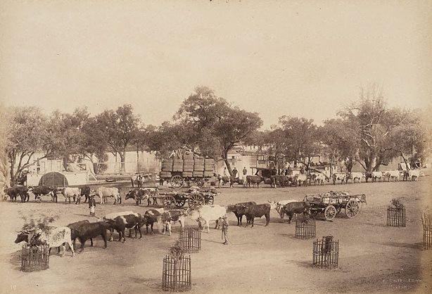 An image of Bullock teams at Wilcannia