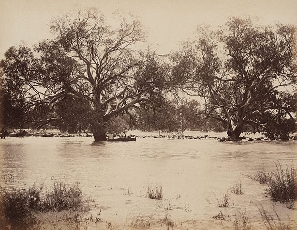 An image of Mob of 1000 bullocks crossing Darling River, near Wilcannia (first view)