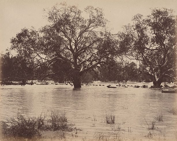 An image of Mob of 1000 bullocks crossing Darling River, near Wilcannia (second view)