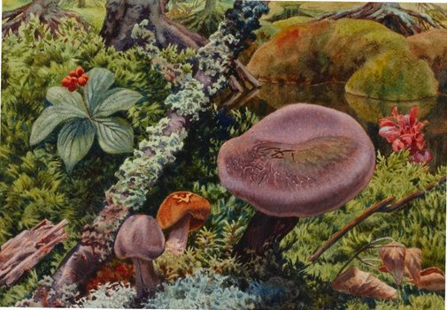 An image of Study of fungi by attrib. Ernest Lindner