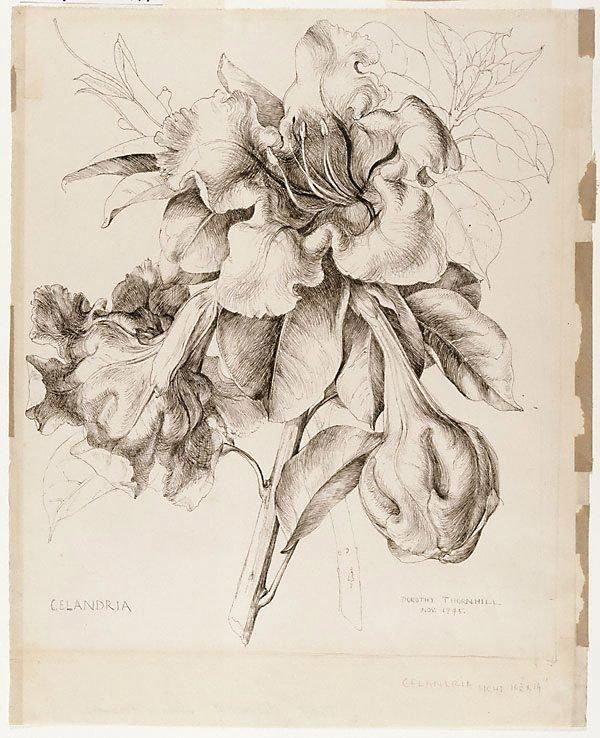 An image of Solandra