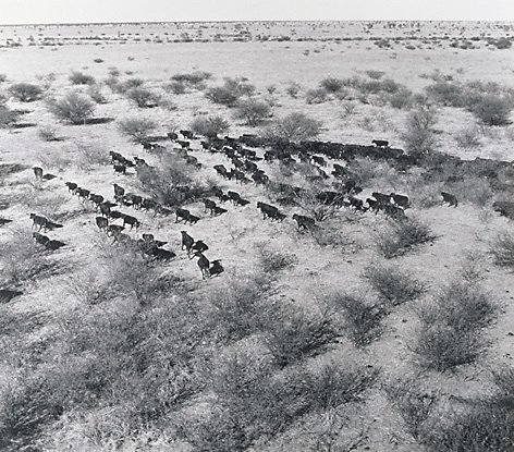 An image of Cattle from the air, 'Millungera', North Queensland