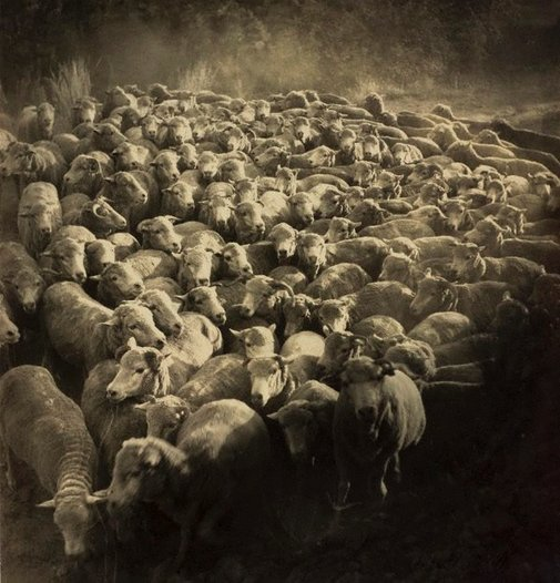 An image of Rounded up (sheep near Gundagai) by Molly Lyons