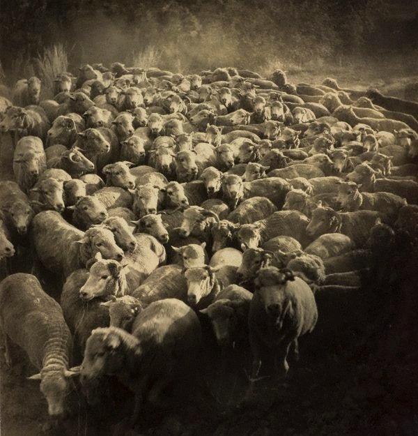 An image of Rounded up (sheep near Gundagai)