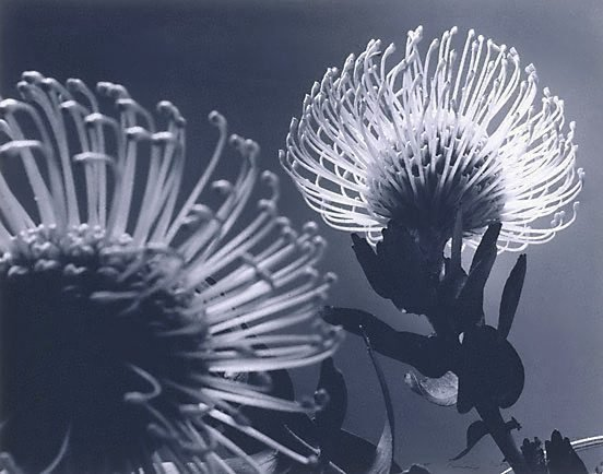 An image of Protea in mirror