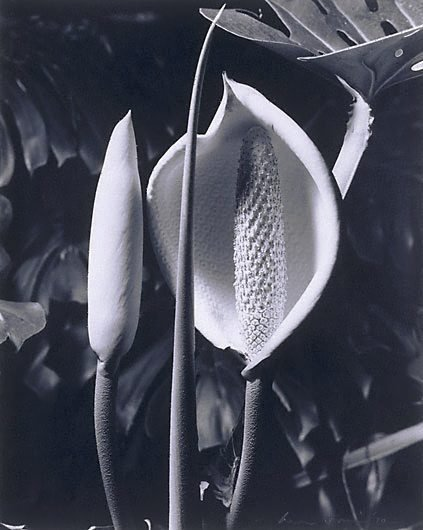 An image of Monstera Deliciosa