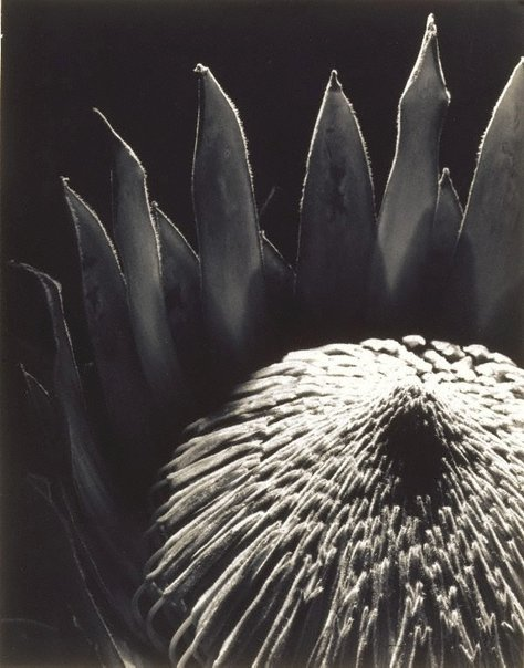 An image of Protea by Max Dupain