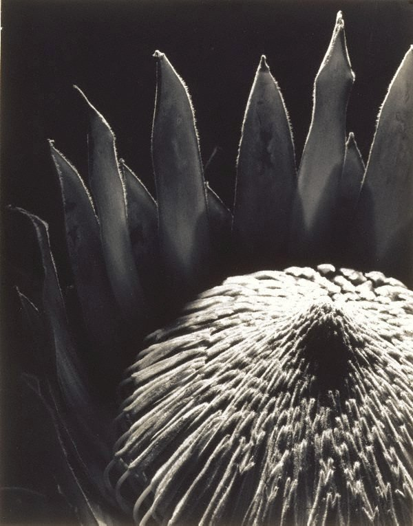 An image of Protea