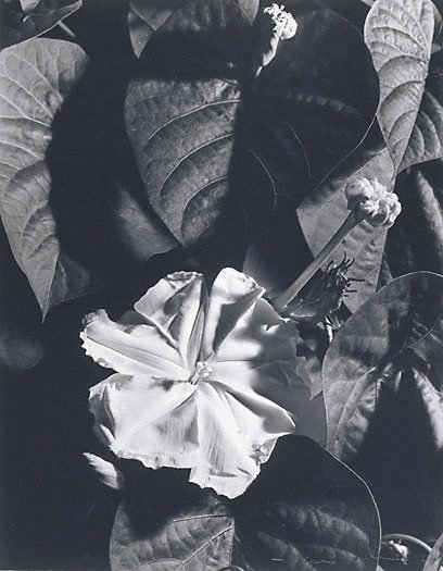 An image of Moonflower at night