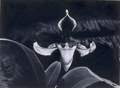 An image of Slipper Orchid by Max Dupain
