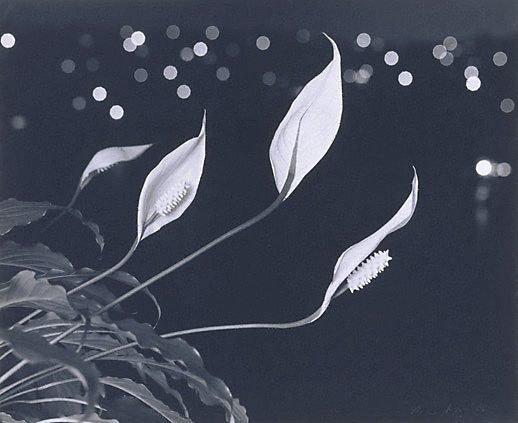 An image of Hawaiian Lilies at night