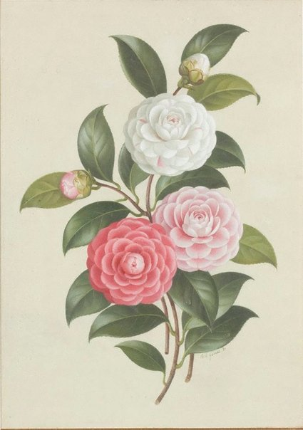 An image of Camellia Virginia Franco by Paul Jones