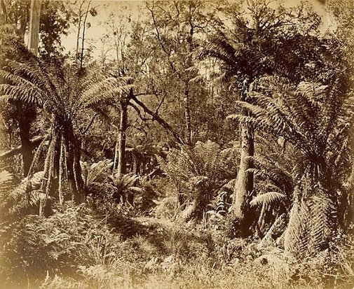 An image of Tree ferns by Unknown
