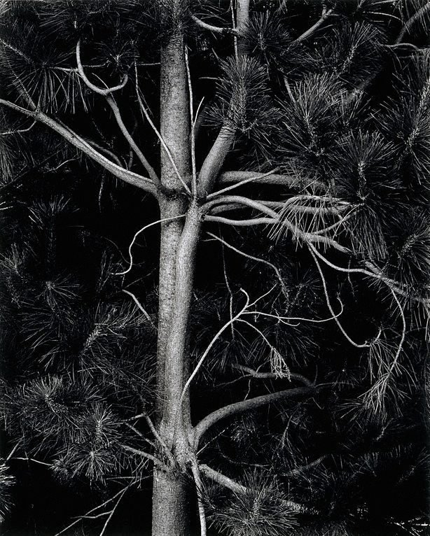 An image of Pine detail, Bondo State Forest