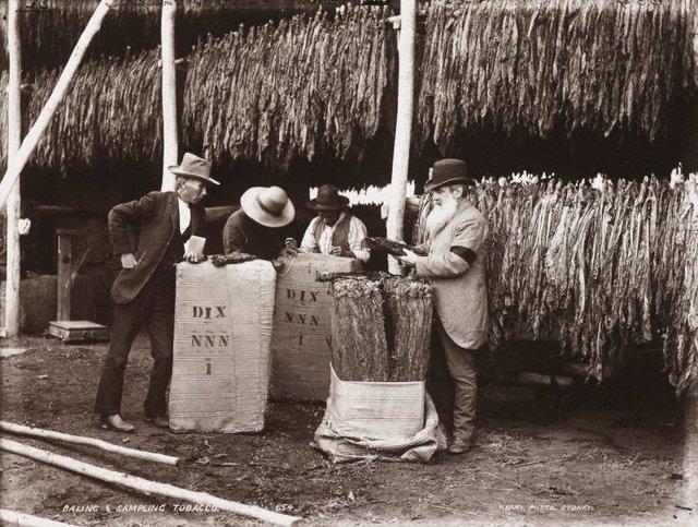 An image of Baling and sampling tobacco