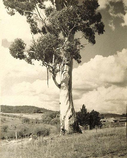 An image of Australian Gum by Harold Cazneaux