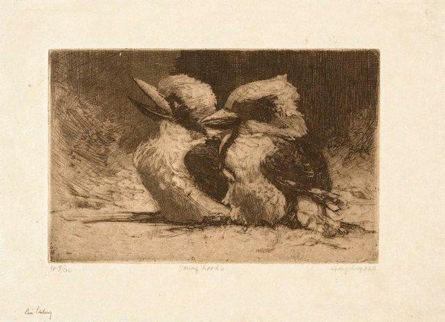 An image of Young kookaburras