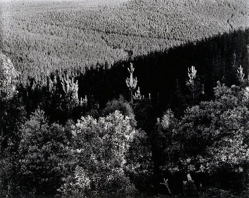 An image of Pine plantation I, Bondo State Forest by Peter Elliston