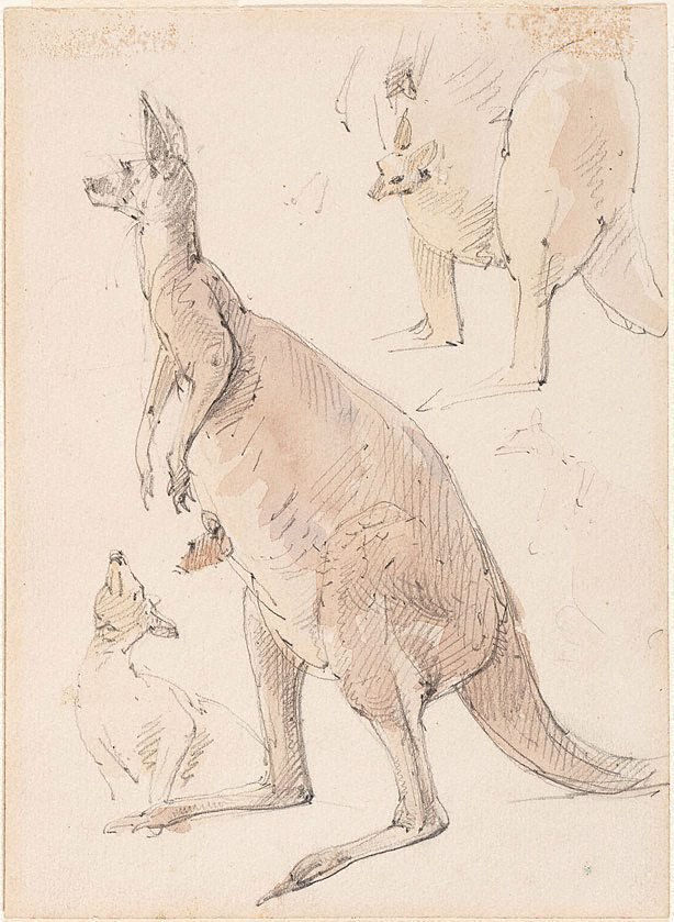 An image of Studies of kangaroos
