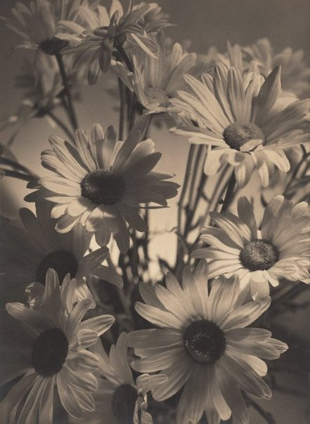 An image of Shasta daisies by Olive Cotton