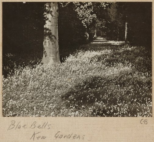 An image of Blue bells, Kew Gardens by Cecil Bostock