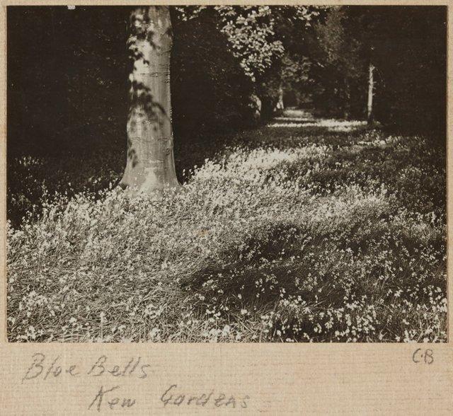 An image of Blue bells, Kew Gardens