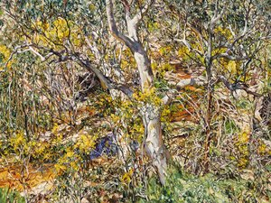 Wilpena eucalypt and wattle