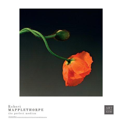 Poppy robert mapplethorpe poster print written by robert mapplethorpe · art gallery of nsw